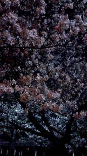 大阪桜2.jpg